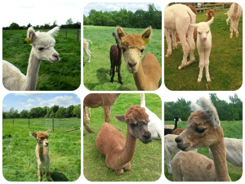 Many Alpacas at Toft - Nettynot Blog